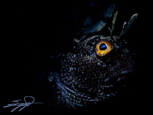Snooted Blenny by Nicholas Samaras 